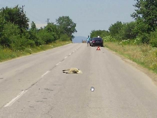 Ulykker mellom dyr og bil skjer også i Bulgaria
