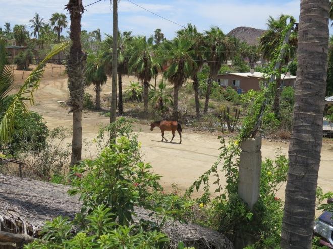 Caballo in Todos Santos Baja Calefornia Mexico