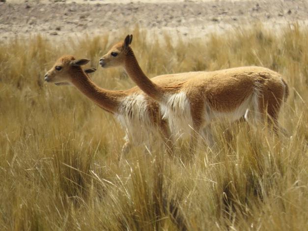 Alpakka mellom Nasca og Abancay, Peru